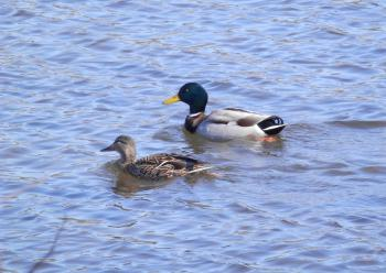 Ducks to water.