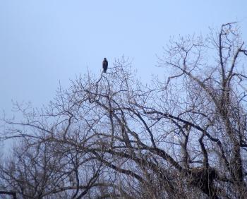 Juvenile bald eagle at nesting site.