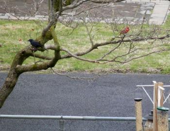 Male cardinal and european starling near bird feeder.