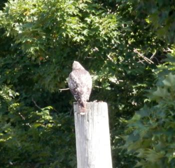 Neighborhood juvenile red-tail hawk making lots of noise.