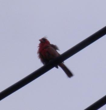 Male cardinal hanging out across the street, horrible light.