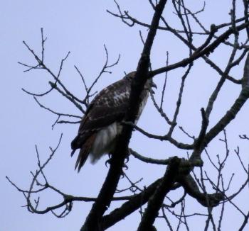 Neighborhood juvenile red-tail making lots of noise, again.