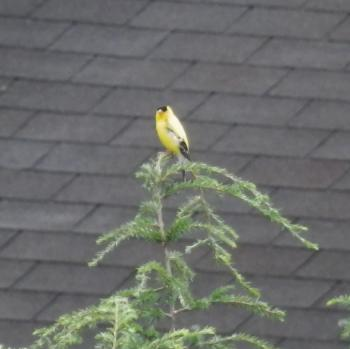 American goldfinch singing his heart out.