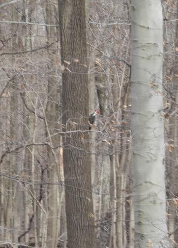 Woodpecker in woods near New Croton Reservoir.