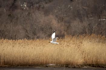 Seagull finding a clam along Croton River, dropping it on pavement at Echo Boat Launch for a nice meal.