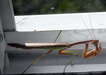 Mantis Intimidation. © 2014 Peter Wetzel.